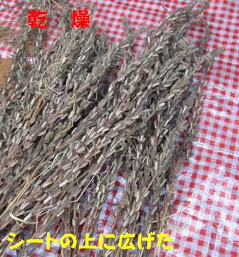 金ゴマ収穫 (6)