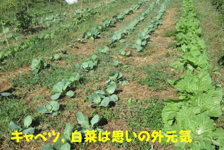 キャベツ・白菜