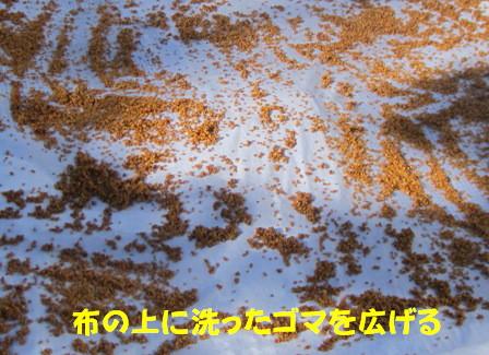 洗いゴマ (4)