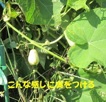ハヤトウリ (3)