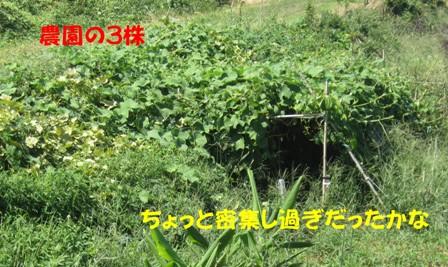 ハヤトウリ (2)