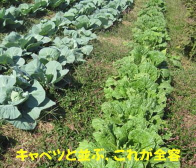 2012白菜 (2)
