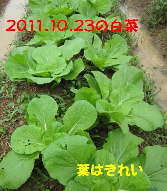 2011白菜