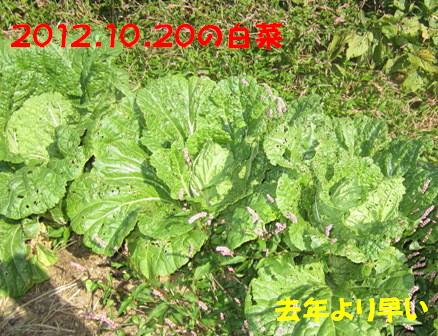 2012白菜 (1)