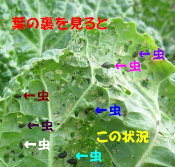 2012白菜 (4)