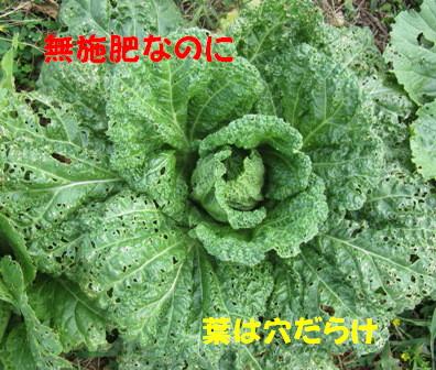 2012白菜 (3)