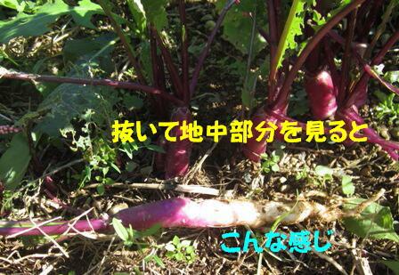 日野菜カブ (3)