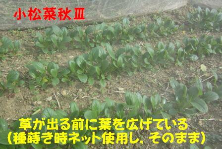 小松菜 Ⅲ