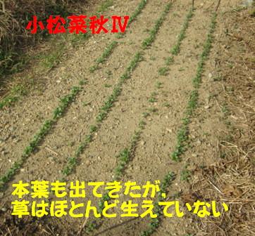 小松菜 Ⅳ