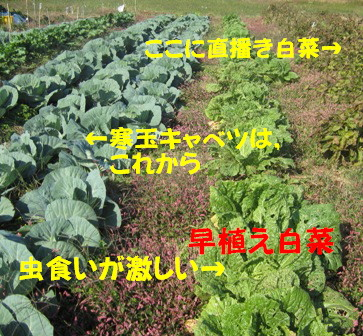 白菜と寒玉キャベツ