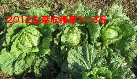 巻き白菜第1~3号