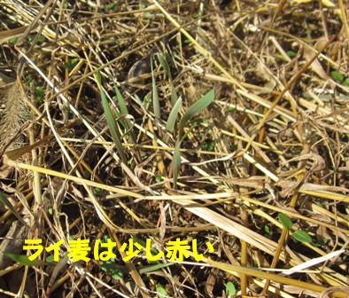 麦4種ライ麦