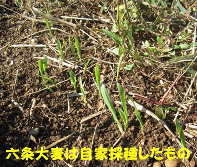 麦4種六条大麦1