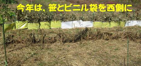 エンドウ風よけ (2)