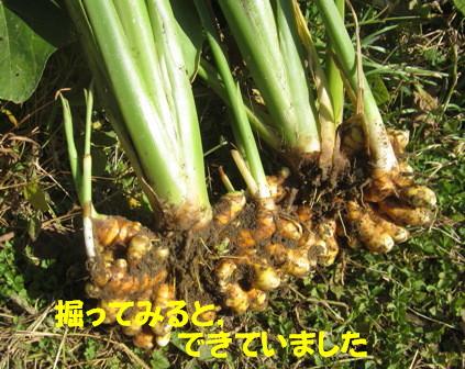 2012ウコン (2)