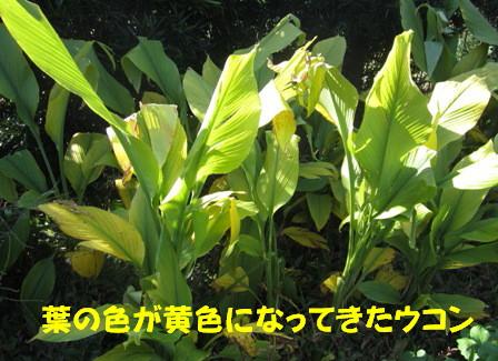 2012ウコン (1)