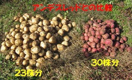 ジャガイモ「ニシユタカ」比較