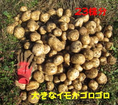 ジャガイモ「ニシユタカ」All