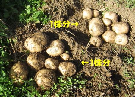 ジャガイモ「ニシユタカ1株