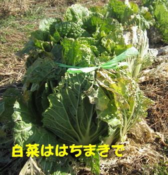 白菜霜除け