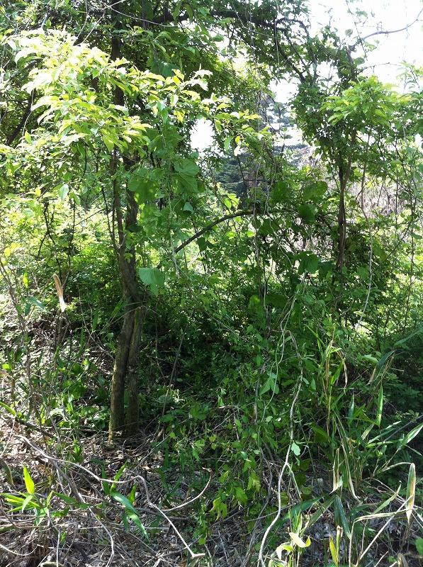 二本立ちの木抜根前
