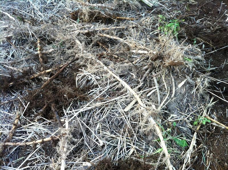 竹の根っこ