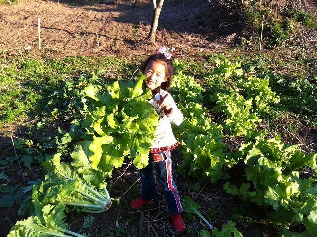 山東菜収穫