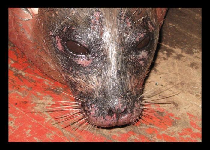 seal-face-1北極動物被爆