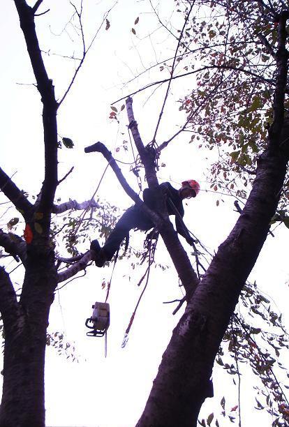 桜伐採作業