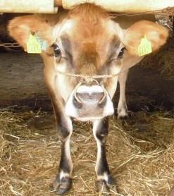 P728 蒜山ジャージー牛 - コピー