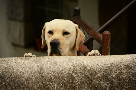 睨む犬20141016
