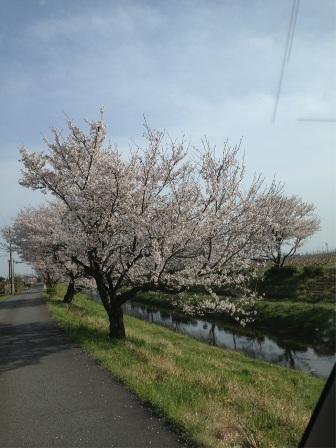 三水川桜2