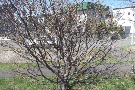 散歩道の桜、明日くらいが満開かな
