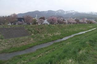 満開の桜 今日をピークに散り始めそう