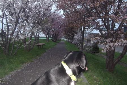 桜のいい香り
