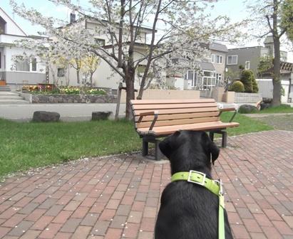 散りゆく 公園の桜