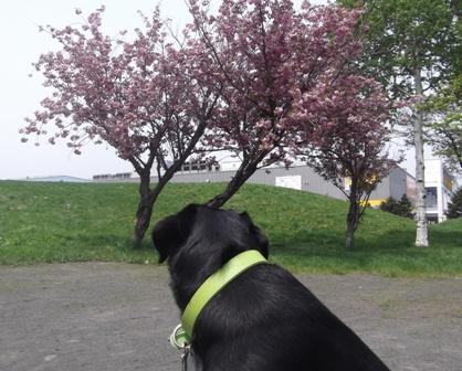 まだ桜が咲いているところもある