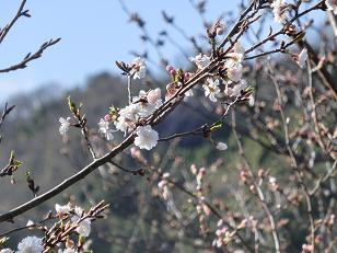2013年sakura