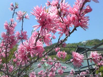 菊咲きハナモモ