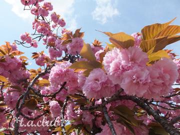 桜.201204