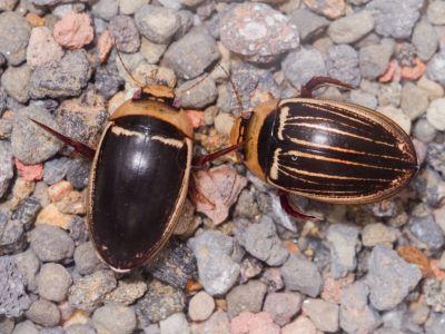 オオシマゲンゴロウ雌雄