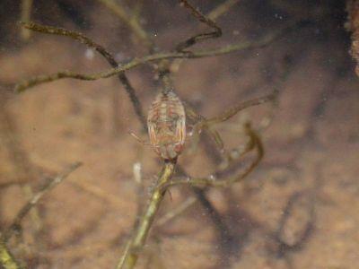 ハイイロチビミズムシ幼虫