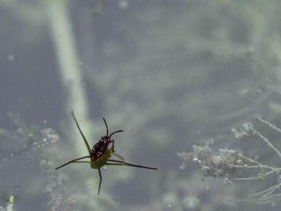ヒメアメンボ幼虫3