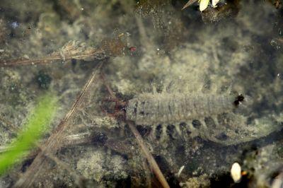 コガムシ幼虫