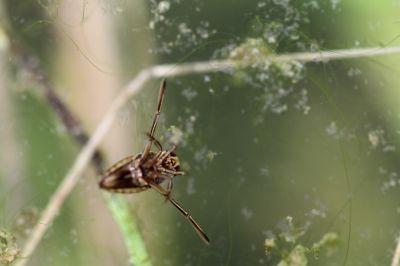 マツモムシ幼虫1