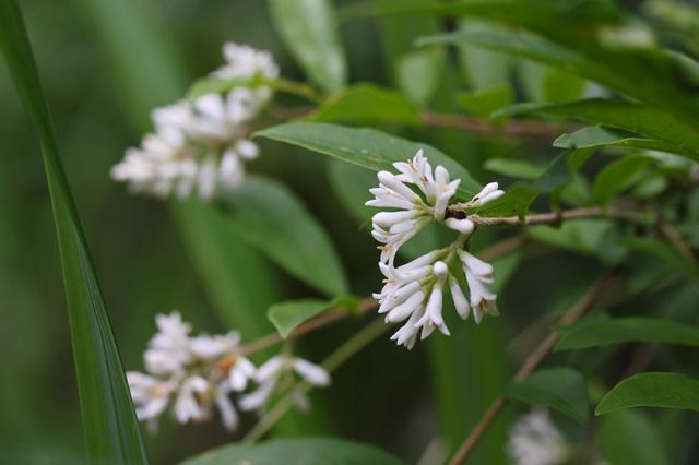 イボタノキ(水蝋の木)