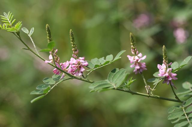 キダチコマツナギ(木立駒繋ぎ)