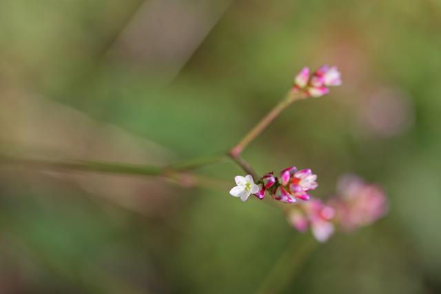 ヤノネグサ(矢の根草)