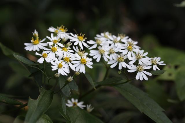 シロヨメナ(白嫁菜)