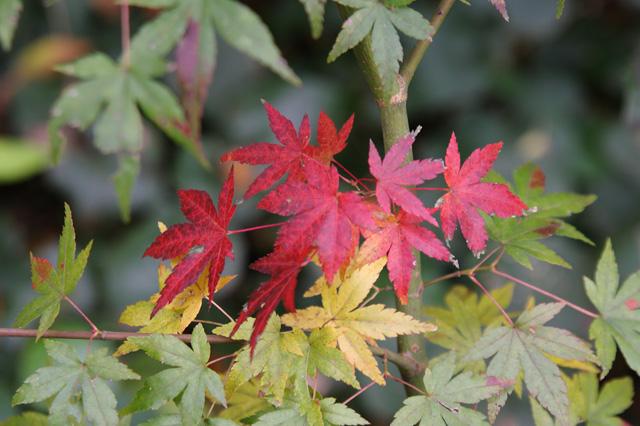 狭山丘陵の紅葉
